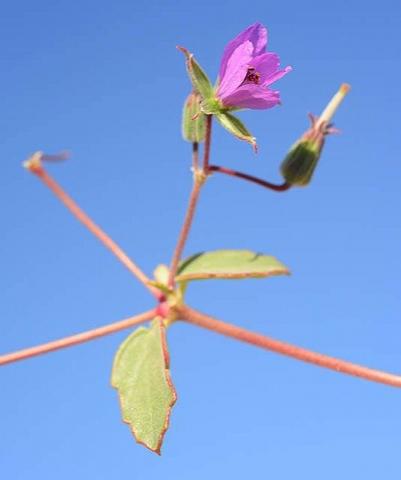 Erodium glaucophyllum 2, Eilat Mountains, Israel. Credit Ori Fragman-Sapir.