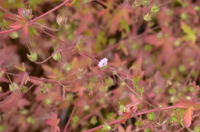 Geranium divaricatum 1, Kyrgyzstan. Credit Alexander Naumenko.