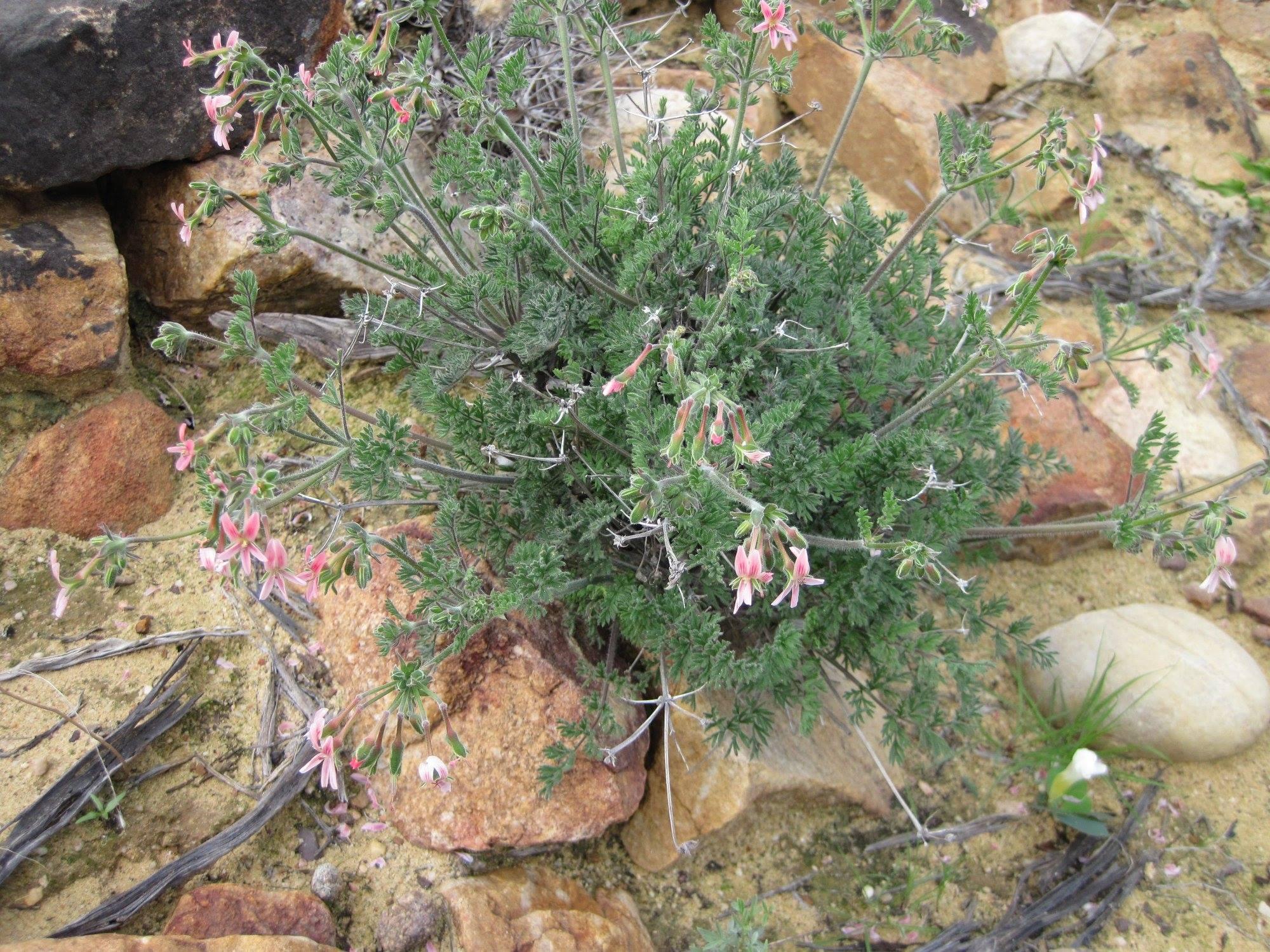 Pelargonium crassipes 1, Trawal. Credit Riaan van der Walt.