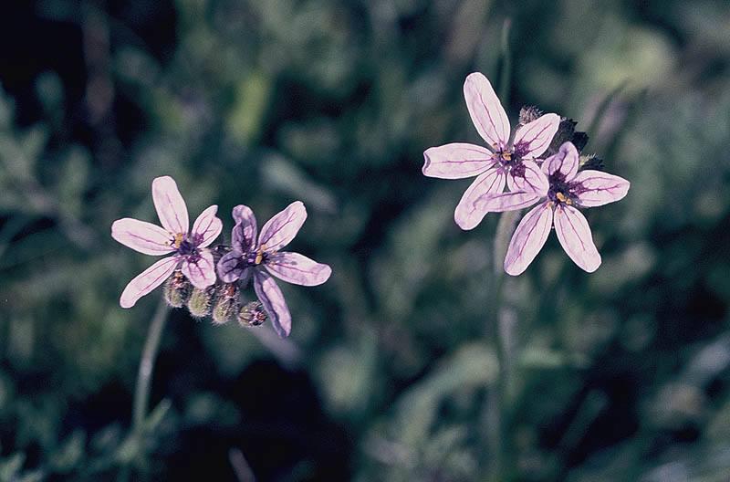 Erodium deserti, S Israel, Credit Ori Fragman-Sapir.