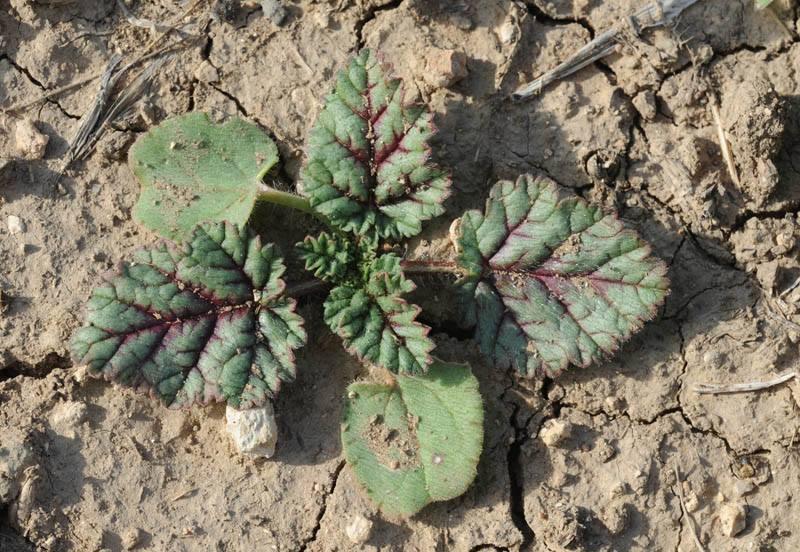 Erodium gruinum 9, Israel, Credit Ori Fragman-Sapir.