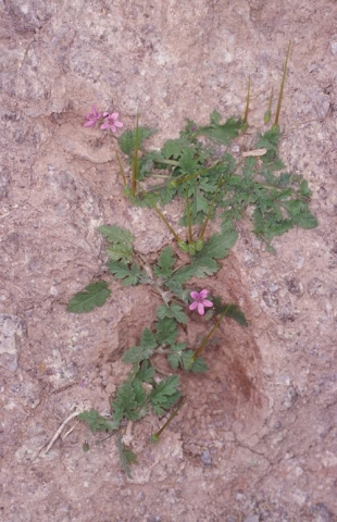 Erodium laciniatum 6, Israel, Credit Ori Fragman-Sapir.