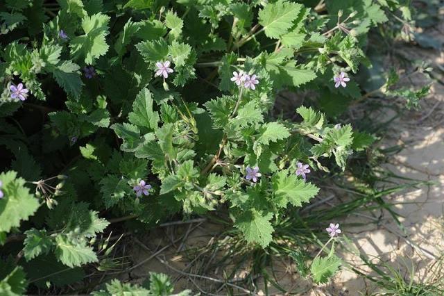 Erodium neuradifolia 2, Israel, Credit Ori Fragman-Sapir.
