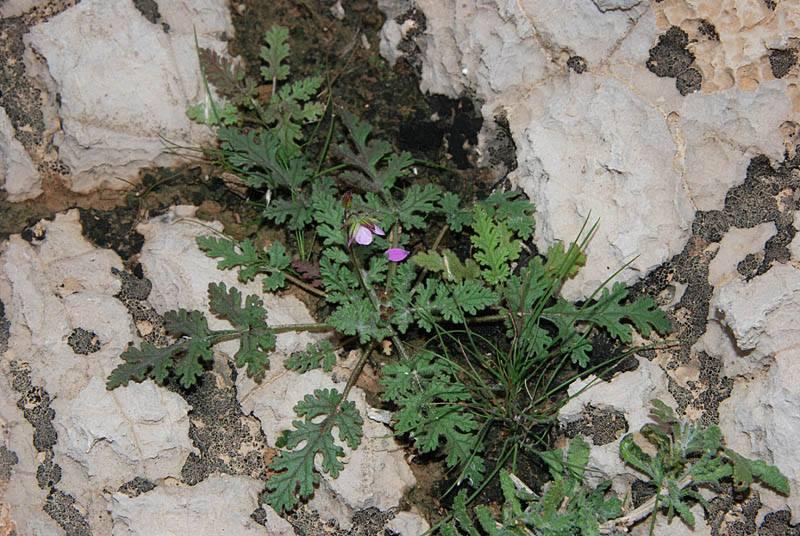 Erodium neuradifolia 3, Israel, Credit Ori Fragman-Sapir.