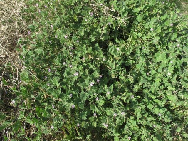 Erodium neuradifolia 4, Israel, Credit Ori Fragman-Sapir.