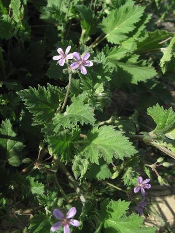 Erodium neuradifolia 5, Israel, Credit Ori Fragman-Sapir.