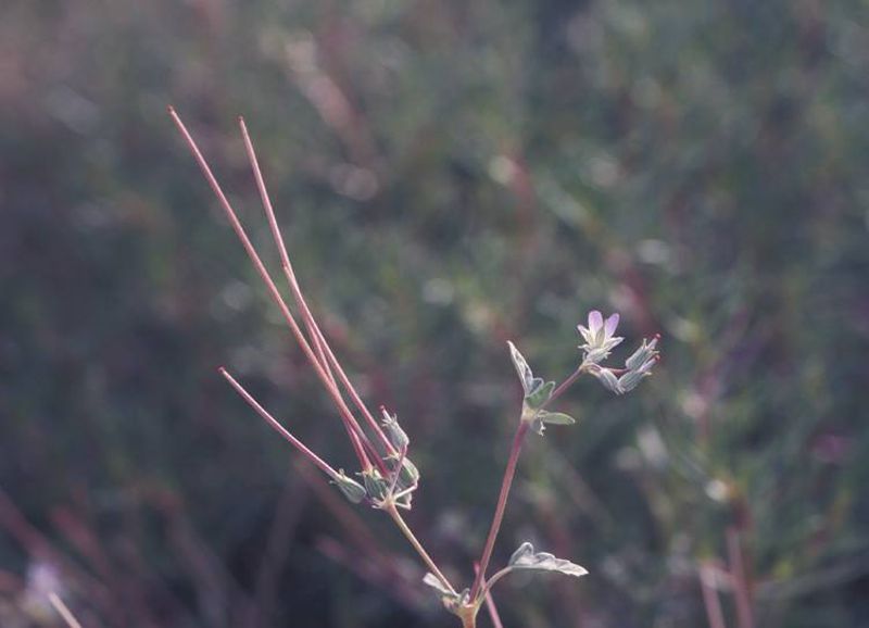 Erodium oxyrynchum 1, Israel, Credit Ori Fragman-Sapir.