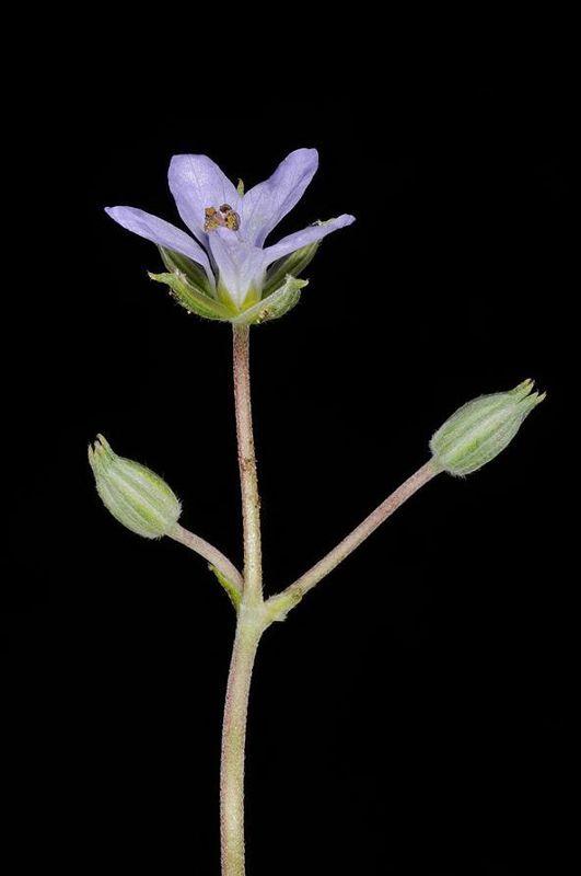 Erodium oxyrynchum 2, Israel, Credit Ori Fragman-Sapir.