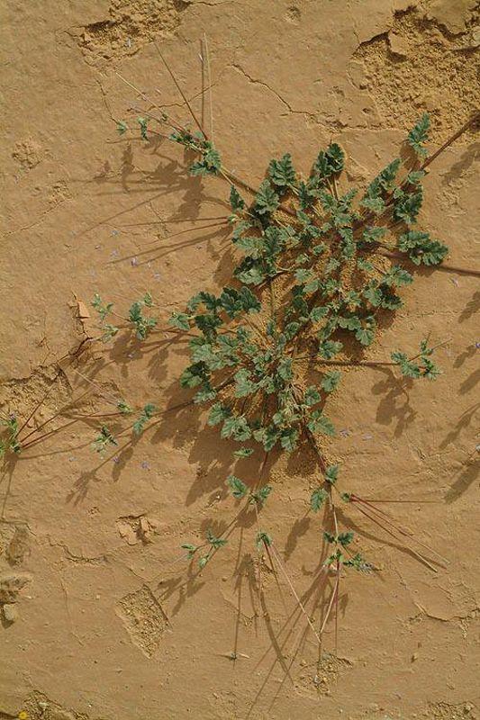 Erodium oxyrynchum 5, Israel, Credit Ori Fragman-Sapir.