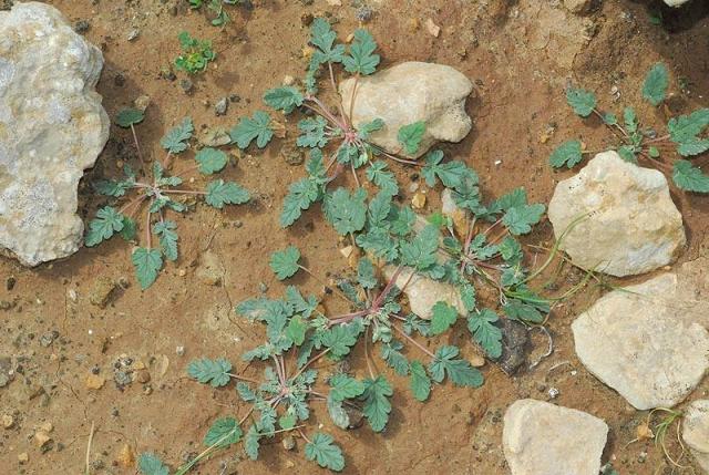 Erodium oxyrynchum 6, Israel, Credit Ori Fragman-Sapir.