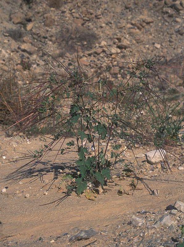 Erodium oxyrynchum 8, Israel, Credit Ori Fragman-Sapir.