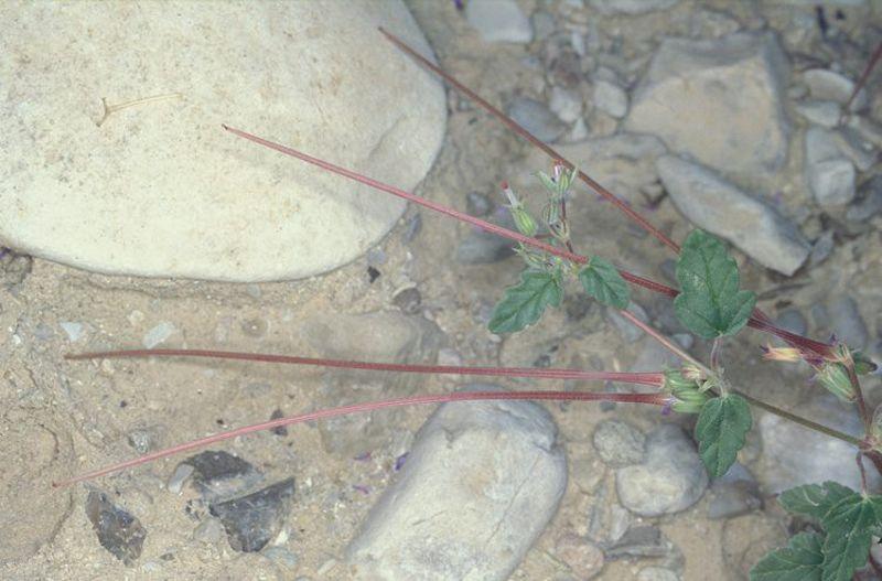 Erodium oxyrynchum 9, Israel, Credit Ori Fragman-Sapir.