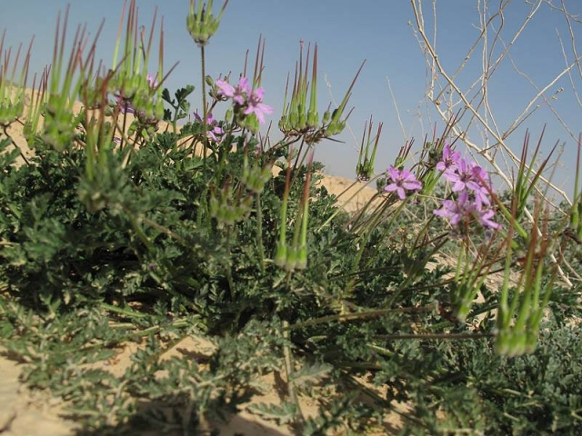 Erodium touchyanum 2, S Israel. Credit Ori Fragman-Sapir.