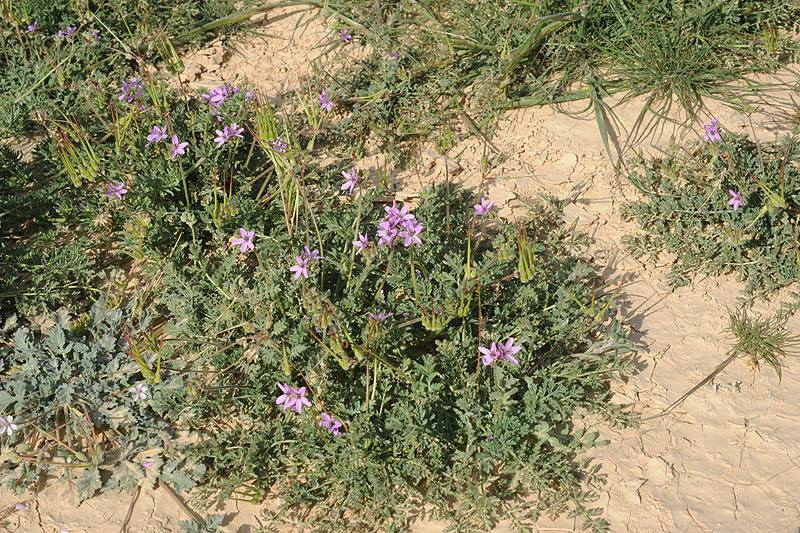 Erodium touchyanum 4, S Israel. Credit Ori Fragman-Sapir.