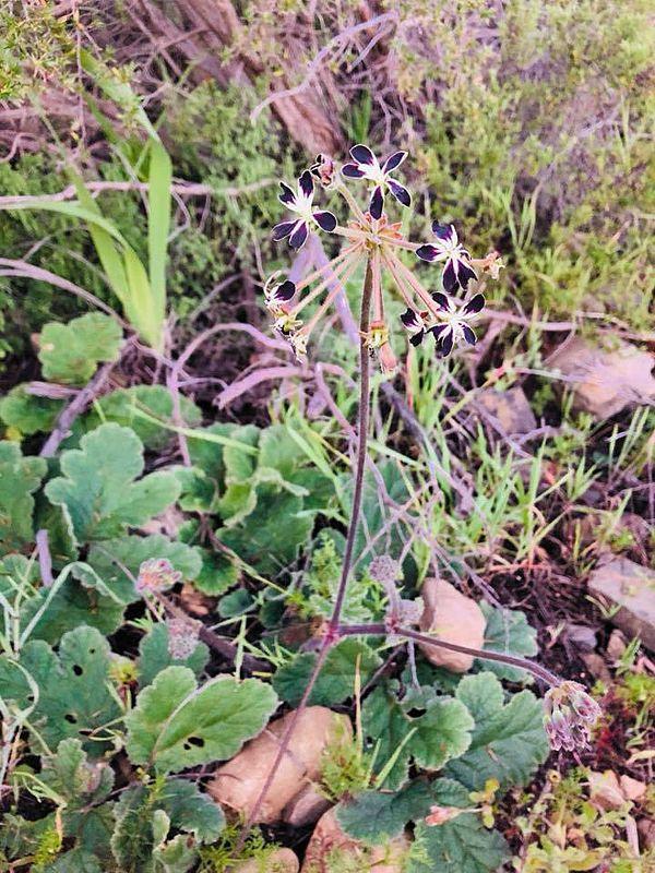 Pelargonium lobatum 2, Signal Hill. Credit Mahendran Moodley.