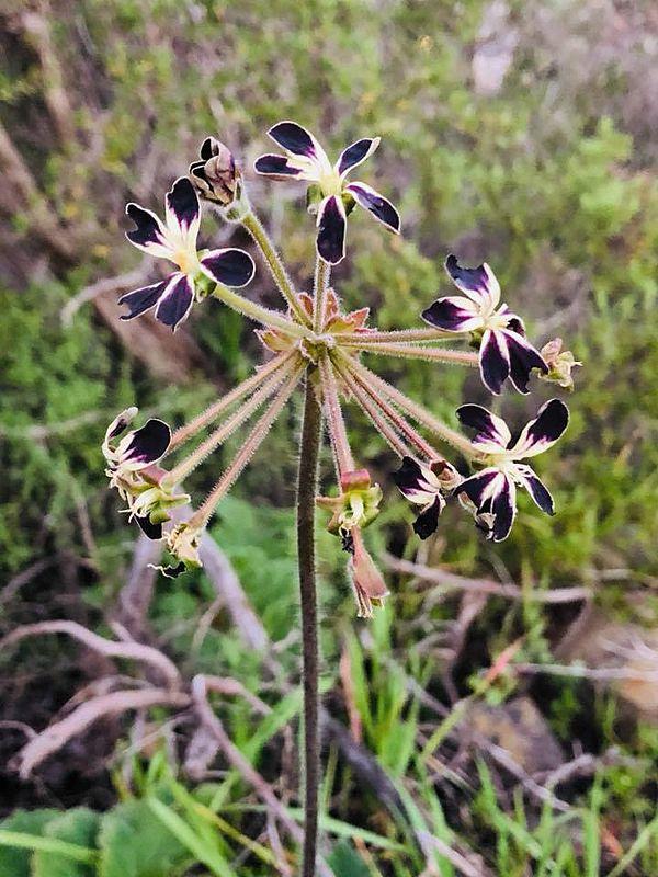 Pelargonium lobatum 3, Signal Hill. Credit Mahendran Moodley.