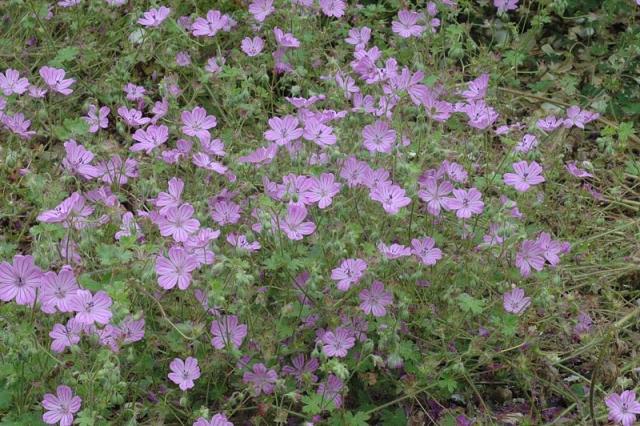 Geranium albanum. Credit Dominique Evrard.