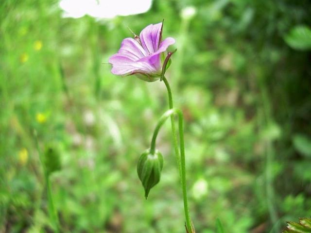 Geranium columbinum 3, Matese massif, S Italy. Credit Pasquale Buonpane.