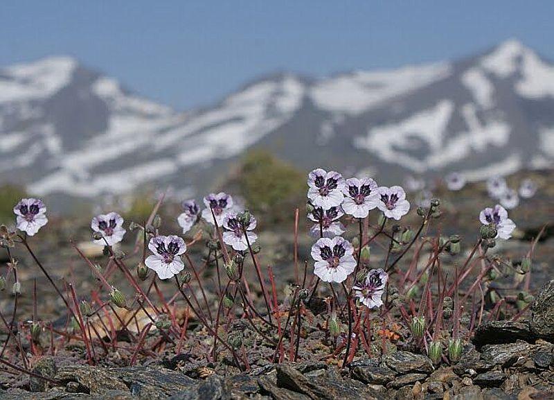 Erodium cheilanthifolium. Credit www.fotoseimagenes.net