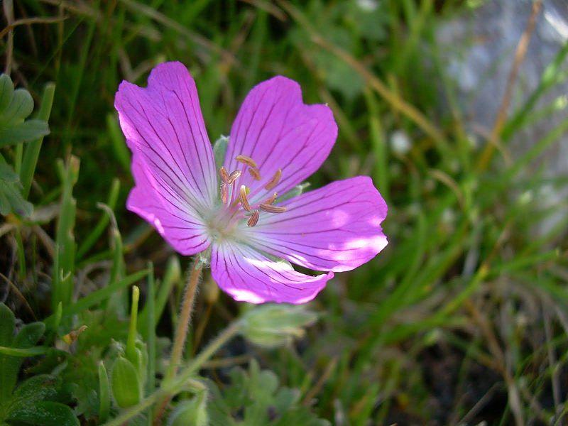Geranium austroapenninum 1. Credit Pasquale Buonpane.