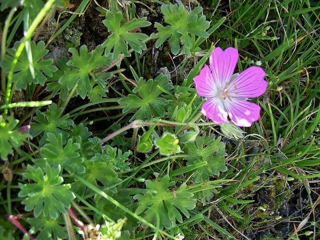 Geranium austroapenninum 2. Credit Pasquale Buonpane.