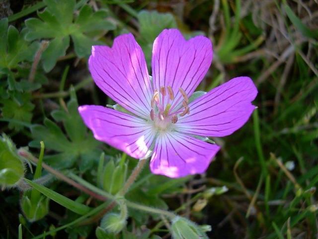 Geranium austroapenninum 3. Credit Pasquale Buonpane.