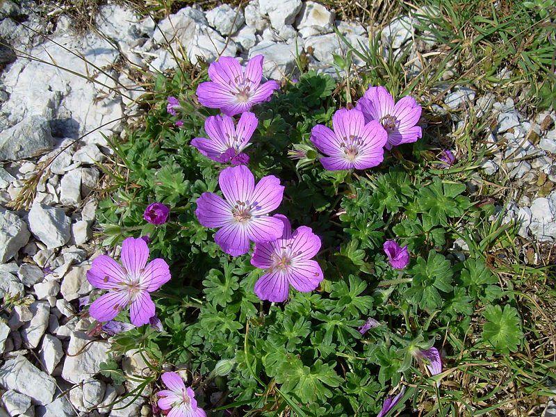 Geranium austroapenninum 4. Credit Pasquale Buonpane.