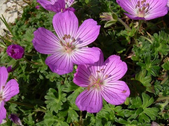 Geranium austroapenninum 5. Credit Pasquale Buonpane.