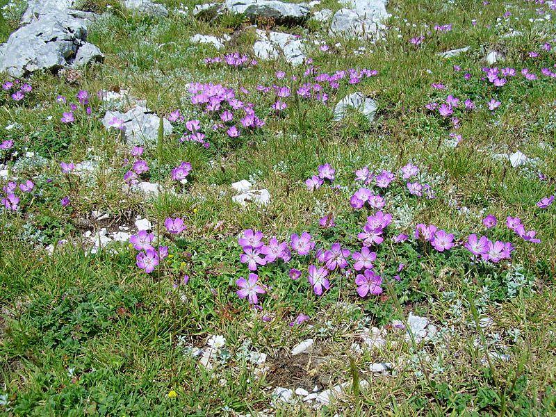 Geranium austroapenninum 6. Credit Pasquale Buonpane.