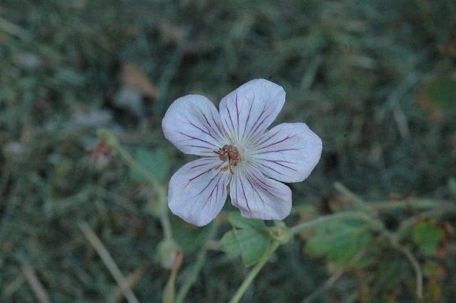 Geranium viscosissimum. Credit Dominique Evrard.