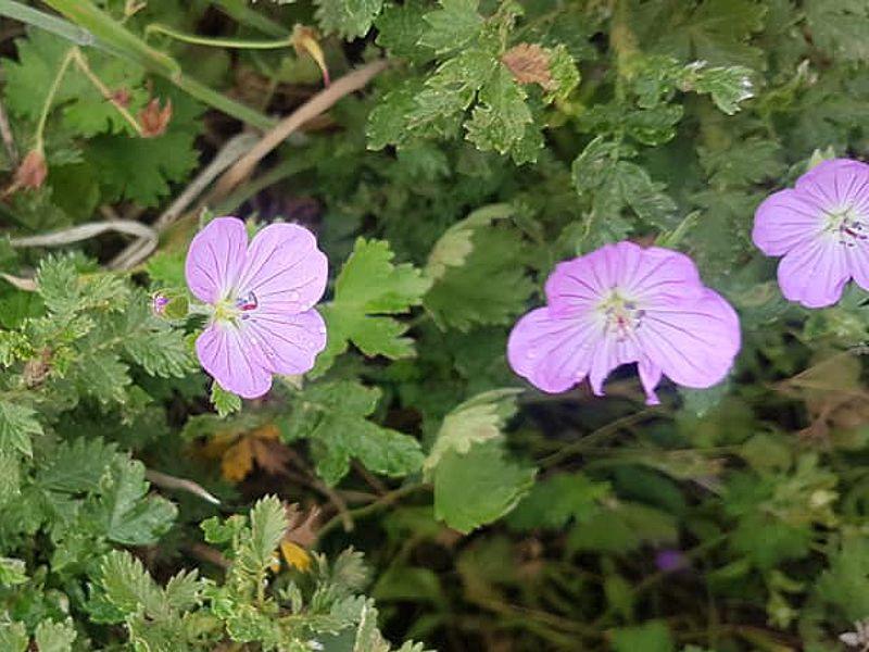 Geranium amatolicum 1, Amathola Hogsback, Eastern Cape. Credit Lucia Holmes.