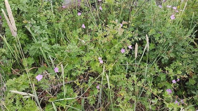 Geranium amatolicum 2, Amathola Hogsback, Eastern Cape. Credit Lucia Holmes.