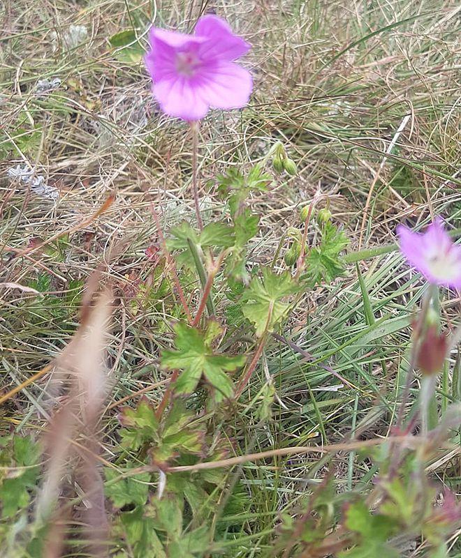 Geranium amatolicum 3, Amathola Hogsback, Eastern Cape. Credit Lucia Holmes.