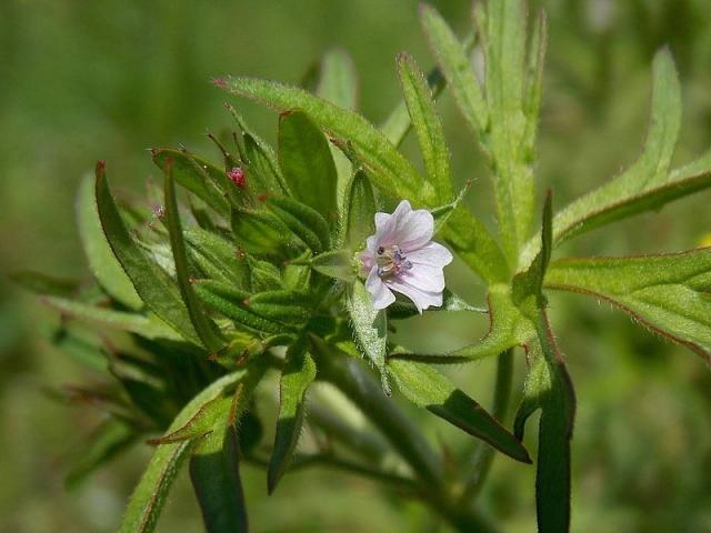 Geranium dissectum 2, Matese massif, Italy. Credit Pasquale Buonpane.