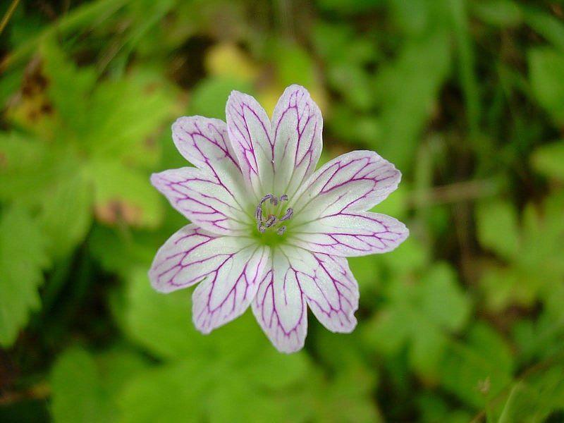 Geranium versicolor 1, Matese massif, Italy. Credit Pasquale Buonpane.