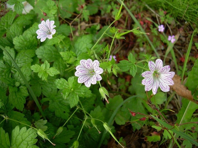 Geranium versicolor 2, Matese massif, Italy. Credit Pasquale Buonpane.