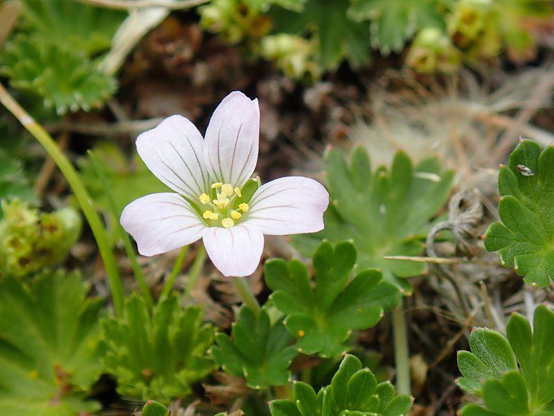 Geranium diffusum 1, banks of Chimborazo, 3668 m, Ecuador. Credit Dominique Evrard.