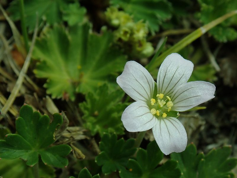 Geranium diffusum 2, banks of Chimborazo, 3668 m, Ecuador. Credit Dominique Evrard.