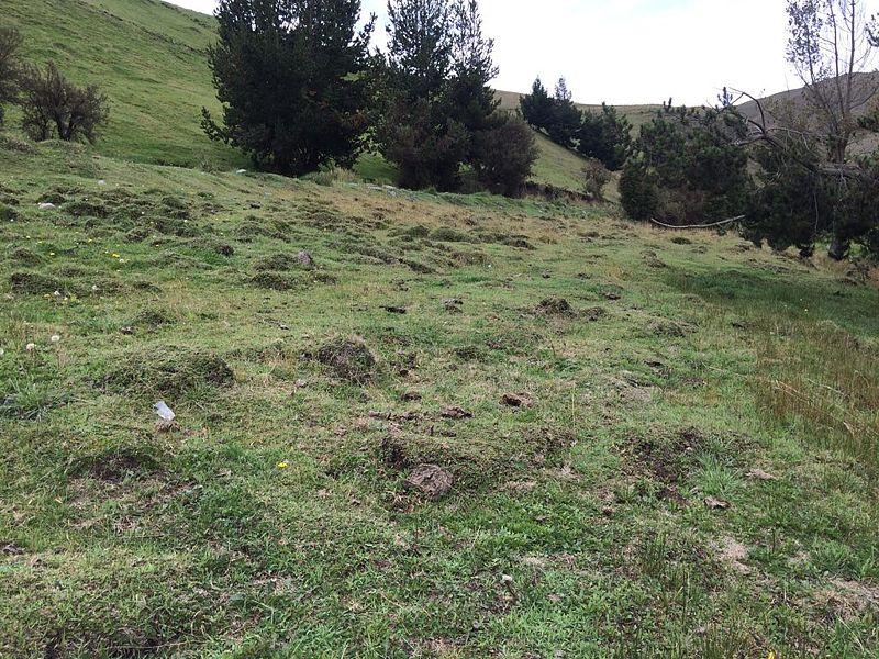 Geranium diffusum 4, banks of Chimborazo, 3668 m, Ecuador. Credit Dominique Evrard.