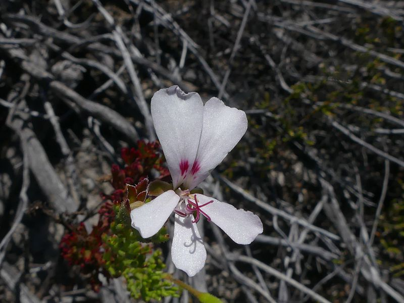 Pelargonium ternatum 3, Barrydale. Credit Jan Movitz.