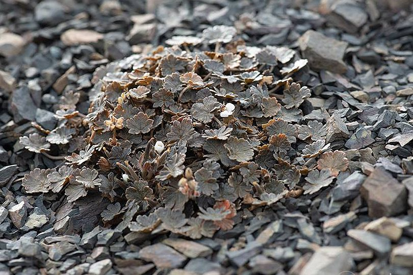 Geranium sessiliflorum v novaezelandiae 1, Mt. Hutt, South Island, NZ. Credit Wenbo Chen.