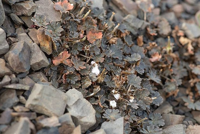 Geranium sessiliflorum v novaezelandiae 3, Mt. Hutt, South Island, NZ. Credit Wenbo Chen.