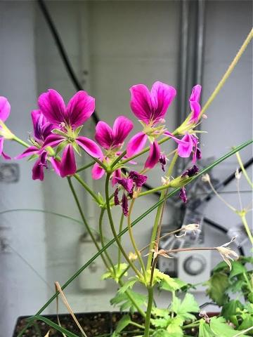 P. sericifolium x P. oblongatum 1. Credit Ernie DeMarie