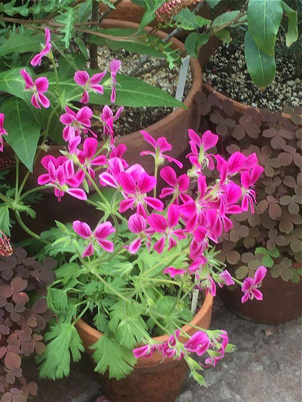 P. sericifolium x P. oblongatum 2. Credit Ernie DeMarie