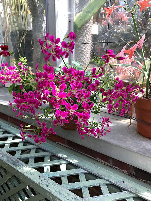 P. sericifolium x P. oblongatum 3. Credit Ernie DeMarie