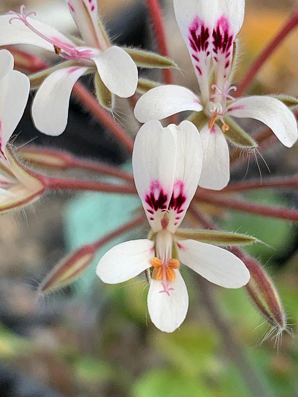 P. vinaceum x P. curviandrum 1. Credit Bernhard Kleeberger.