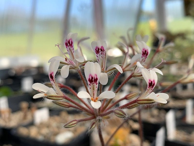 P. vinaceum x P. curviandrum 2. Credit Bernhard Kleeberger.