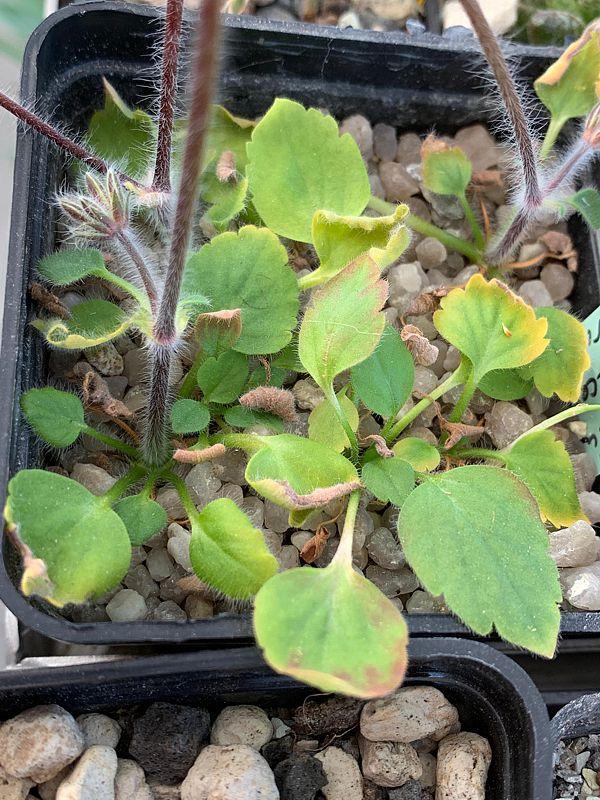 P. vinaceum x P. curviandrum 3. Credit Bernhard Kleeberger.