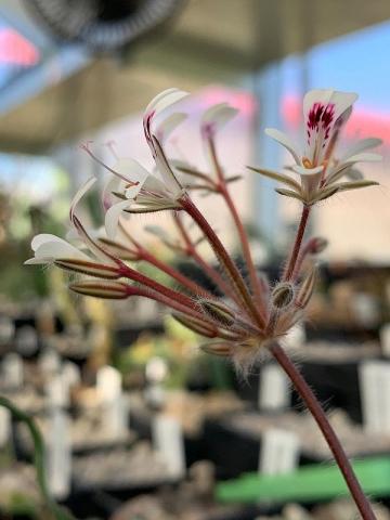 P. vinaceum x P. curviandrum 4. Credit Bernhard Kleeberger.