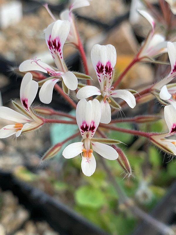 P. vinaceum x P. curviandrum 6. Credit Bernhard Kleeberger.